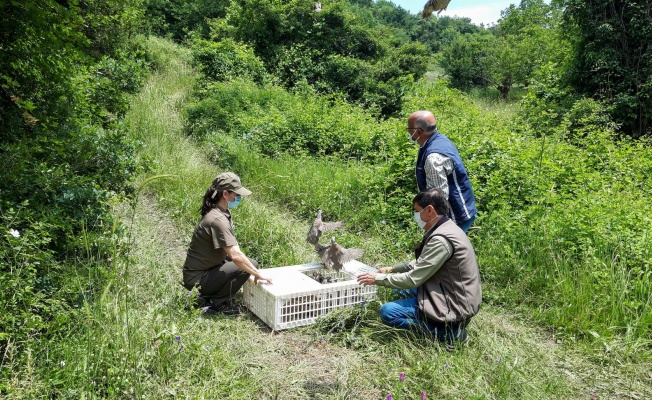 Yalova'da 625 Kınalı Keklik Doğayla Buluştu