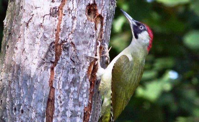 Hersek Lagününde kuş tür sayısı 236'ya yükseldi