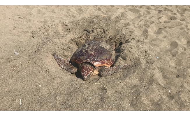 Kumsalda çok nadir rastlanan bir olay yaşandı