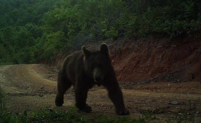 Yalova'da doğal hayat fotokapanlarla izleniyor
