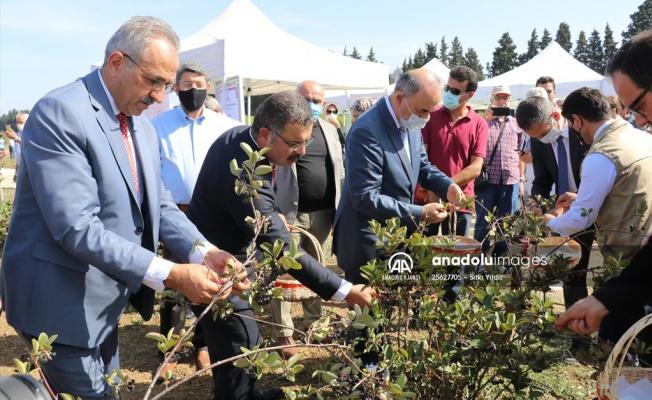 Süper mevye 'aronya'nın hasat etkinliği yapıldı