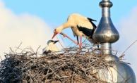 Yalova'da leylekler göçe hazırlanıyor